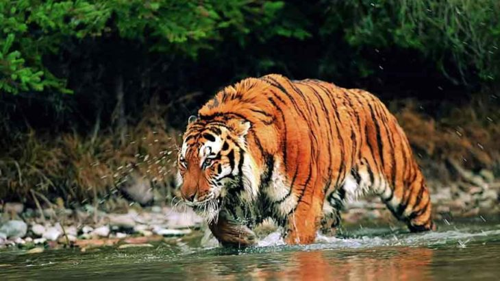 royal bengal tigers need more conservation efforts