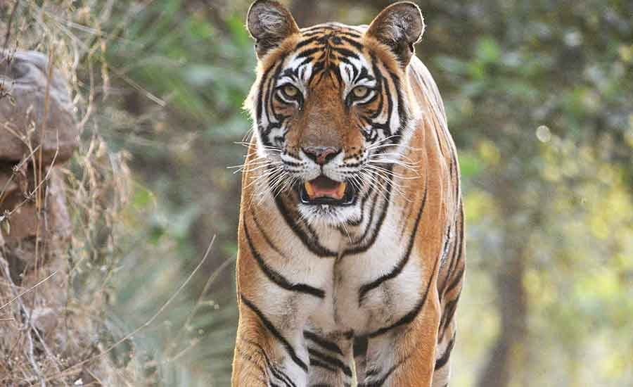 save the royal bengal tigers